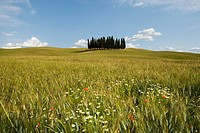 Cypress trees in field in siena