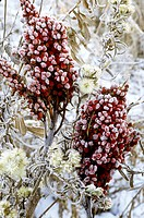 Frost covers staghorn sumac Rhus typhina berries, Cuyahoga Valley National Park, Ohio.