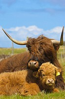 Scottish Highland cows, Skye island, Inner Hebrides, Scotland, UK