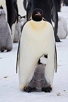 Emperor Penguins, Aptenodytes forsteri, on fast ice adjacent to Snow Hill Island in the Weddell Sea, Antarctica, October, 2007. A young chick, 50_90 d...