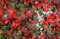 Autumn tundra arctic bearberry, lichens, cranberry, Denali National Park, Alaska.