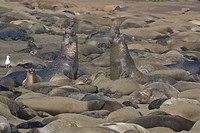 The nose of the male elephant seal elongates into an inflatable proboscis. This is used during reproduction when males establish territories. The terr...