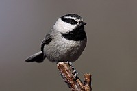 Mountain chickadee Poecile gambeli, a small songbird found in the mountainous regions of the western United States.