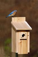Eastern bluebird Sialia sialis, Hamden, Connecticut.