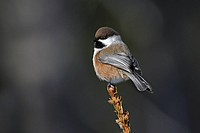Boreal chickadee Poecile hudsonica, a small songbird found in Canada and the northern United States.