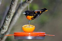 A Baltimore oriole Icterus galbula, a small blackbird found in forests across eastern North America, enjoys a halved orange.