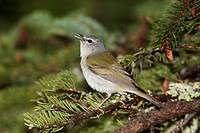 Tennessee warbler Vermivora peregrina, a migratory New World warbler.