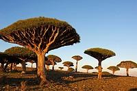 Dragon tree (Dracaena cinnabari), Socotra island, Yemen
