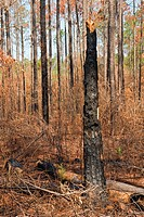 In 2007 Southern Georgia and Florida suffered extreme drought. In April and May wildfires started both by nature and by arsonists had joined and sprea...