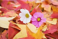 Cosmos Flowers and Maple Leaves