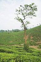 Tree in a tea garden, Mysore, Karnataka, India
