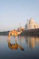 Camel in the river with a mausoleum in the background, Taj Mahal, Yamuna River, Agra, Uttar Pradesh, India