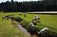 Herd of sheep grazing on a grassland, Sanasar, Jammu And Kashmir, India