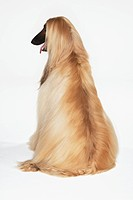 Afghan hound sitting back view