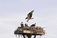 Osprey family feeding on fish in nest located on the Albemarle Sound, North Carolina, USA