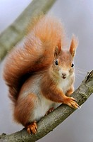 Red Squirrel (Sciurus vulgaris), Germany