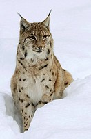 Carpathian lynx (Lynx lynx carpathicus), captive, Germany