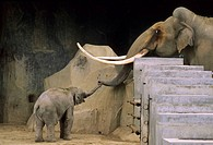 Elephants, Zoo, Paris, France