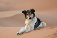 Dog lying on sand dune in the Desert, Erg Chebbi, Morocco