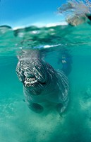 Breathing West Indian Manatee, Trichechus manatus latirostris, USA, Florida, FL, Crystal River