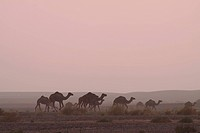 Africa, North Africa, Morocco, Desert, Merzouga, Herd of Camels on Dusty Plain
