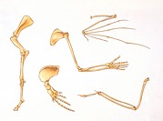 Palaeozoology - Dinosaurs - Bones of upper and lower limbs - Art work