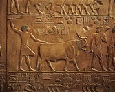 Egypt, Cairo, Saqqara, funerary mastaba of Idut, agricultural works and ox