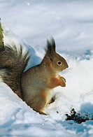Zoology - Mammals - Rodents - Squirrel (Scirus vulgaris) - Pushkin Tsarskoe Selo Park - St. Petersburg - Russia