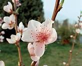 Botany - Rosaceae. Peach (Prunus persica). Flower