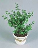 Houseplants - Crassulaceae. Crassula arborescens