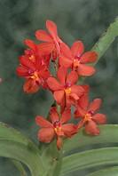 Botany - Orchidaceae. Ascocentrum curvifolium