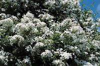 Botany - Plumbaginaceae. Cape leadwort (Plumbago capensis 'Alba')