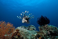 LIONFISH or TURKEYFISH Pterois volitans. Indonesia