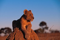 AFRICAN LION two months old Panthera leo resting on termite mound