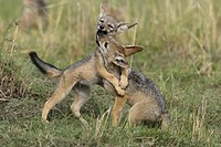 BLACK_BACKED JACKAL Canis mesomelas young playing. Masai_Mara national park. Kenya