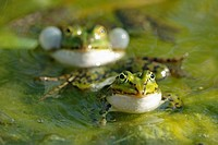 edible frogs, Rana lessonae, combination,