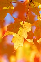 Maple_tree, leaves, autumn_coloring,