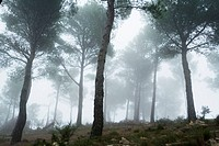 Fog at pine forest, Sierra Calderona natural park, Comunidad valenciana, Spain