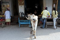 India, Vrindavan, a holy cow