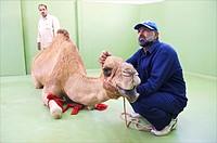 Dubai, Camel Clinic