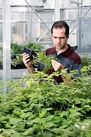Plant pest research. Research assistant examining raspberry Rubus sp. plants for aphids. Aphids are common agricultural pests. They are a highly destr...