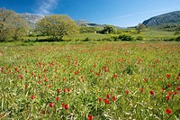 Wild tulips Tulipa doerfleri, red growing in the Kedros mountains, Crete.