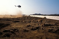 Giraffes Giraffa camelopardalis being translocated. Image 3 of 6. Helicopter herding giraffes towards a walled pen, ready to be moved to another habit...