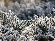 Lowland heathand in winter, with the structure of the Common Gorse bushes picked out by rime hoar frost after a sharp overnight frost and freezing mis...