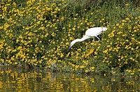 Little egret Egretta garzetta fishing amongst yellow fleabane Erigeron linearis flowers. This small white heron is originally native to warmer parts o...