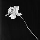 flower, white, flora,