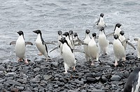 Adelie Penguins, Antartica, Pygoscelis adeliae