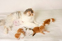 British Longhair Cat, blue_cream_white, with kittens, 2 weeks, Highlander, Lowlander, Britanica, lactating