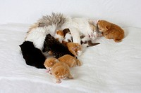 British Longhair Cat, blue_cream_white, with kittens, 2 weeks and 3 weeks, Highlander, Lowlander, Britanica