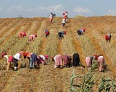 Morocco, North Africa, Maghreb, harvest, harvestin